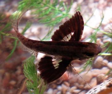 Motylowiec